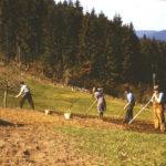 536 Kartoffelernte auf dem Schwarzenbruch um 1950