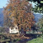 636 Foto von Otto Dambach um 1960 Kastanienbäume an der Landstraße